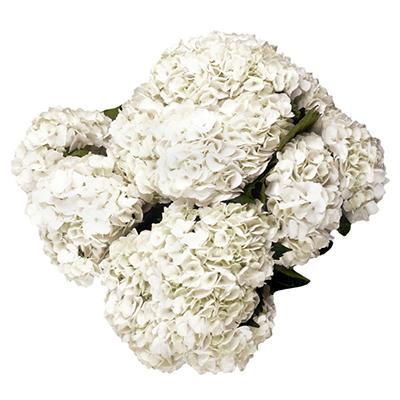 Hydrangea - White- 12 Stems