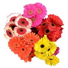 Gerbera Daisies - Assorted Bright Colors - 50 Stems