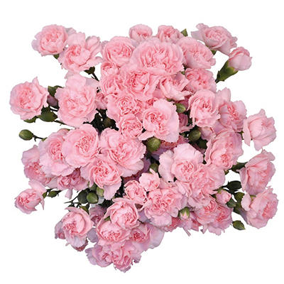 Mini Carnations - Pink - 100 Stems