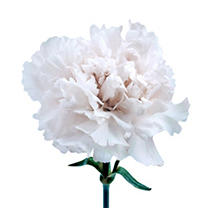 Carnations - White - 100 Stems