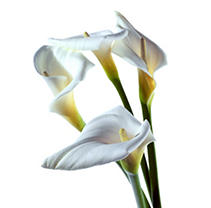 Large Calla Lily - White - 25 Stems