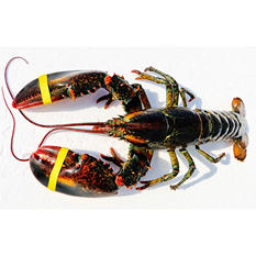 Ready Seafood Live Maine Lobster (1 lb. ea., 12 lobsters)