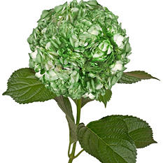 Painted Hydrangeas, Metallic Green (Choose 14 or 26 stems)