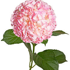 Painted Hydrangeas, Pink (14 stems)