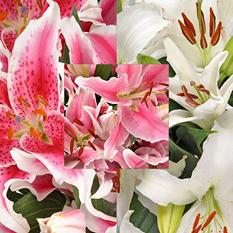Oriental Lilies, Assorted (20 stems)