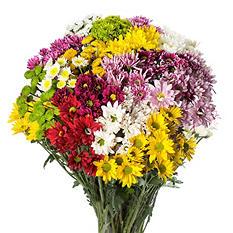 Pompon Cushion Daisy & Novelty Assorted (84 stems)