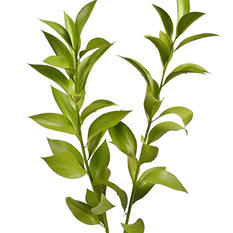 Painted Ruscus, Lemon Green (120 stems)