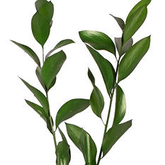 Painted Ruscus, Metallic Green (Choose 60 or 120 stems)