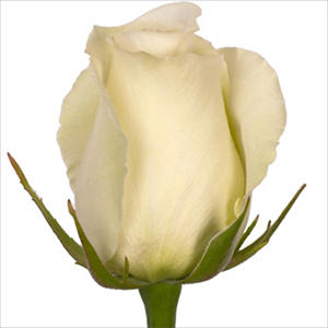 Roses - White Dove (100 stems)