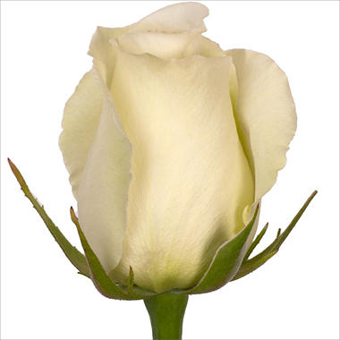Roses - White Dove - 100 Stems