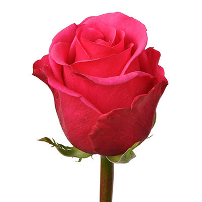 Roses - Hot Lady - 100 Stems