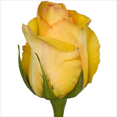 Roses - Dejavu - 100 Stems