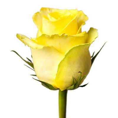 Roses - Tara - 100 Stems