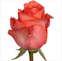 Roses - Wow - 100 Stems
