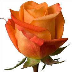Roses - Voodoo (100 Stems)