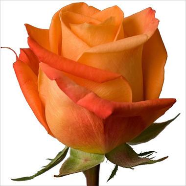 Roses - Voodoo - 100 Stems