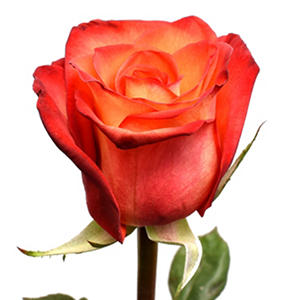 Roses - High & Orange Roses (100 stems)