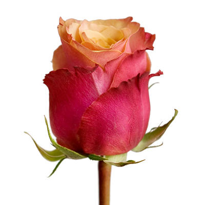 Roses - Cherry Brandy - 100 Stems