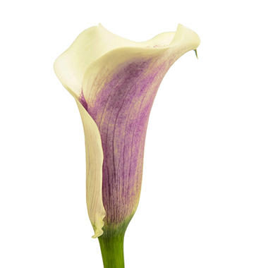 Mini Calla Lily - Picasso - 100 Stems