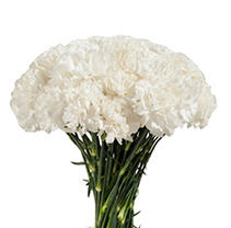 Florverde® Carnations - White - 200 Stems