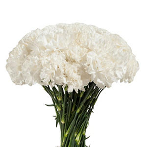 Carnations - White - 200 Stems