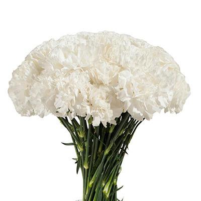 Carnations - White - 200 Stems
