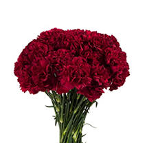 Florverde® Carnations - Burgundy - 200 Stems