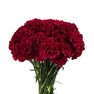 Florverde� Carnations - Burgundy - 200 Stems
