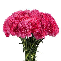 Carnations Hot Pink - 200 Stems