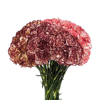 Carnations - Novelties - 200 Stems
