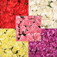 Mini Carnations - Assorted - 200 Stems