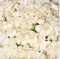 Florverde® Mini Carnations - White - 200 Stems