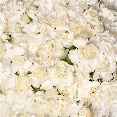 Florverde� Mini Carnations - White - 200 Stems