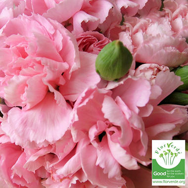 Florverde� Mini Carnations - Pink - 200 Stems