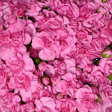 Mini Carnations - Hot Pink - 200 Stems