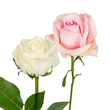 Roses - Light Pink & White - 125 Stems