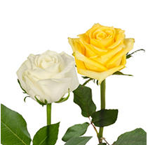 Roses - Yellow & White - 125 Stems