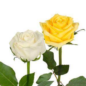 Roses - Yellow & White (125 stems)