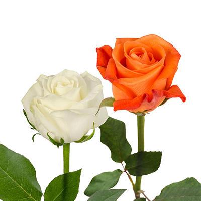 Roses - Orange & White - 125 Stems
