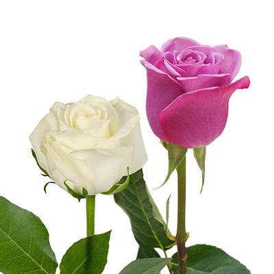 Roses - Lavender & White - 125 Stems