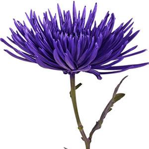 Painted Anastasia Spider, Metallic Purple (Choose 50 or 100 stems)