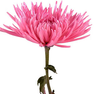 Painted Anastasia Spider, Metallic Pink (Choose 50 or 100 stems)