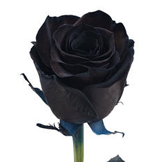 Roses - Tinted Black (100 stems)