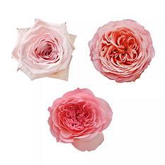 Garden Roses - Variety Light Pink (36 stems)