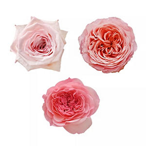 Garden Roses - Variety Light Pink (36 stems)