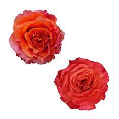 Garden Roses - Orange (36 stems)