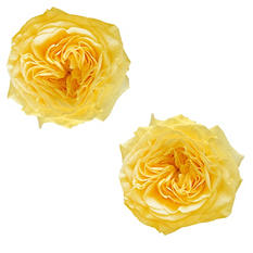 Garden Roses - Yellow (36 stems)