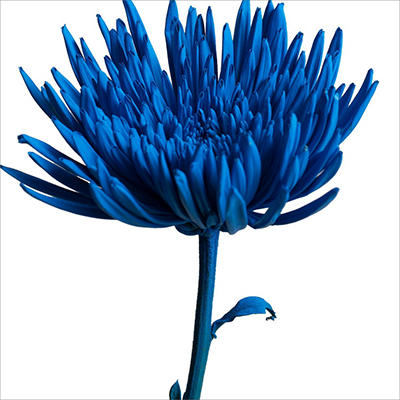 Spider - Painted Teal Blue - 100 Stems