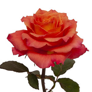 Garden Roses - Free Spirit (36 stems)