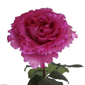 Garden Roses - Yves Piaget (36 stems)